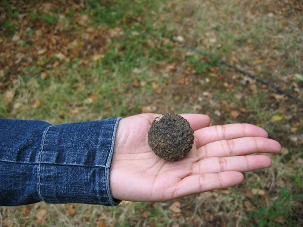 Черный рынок трюфелей: на грибах с гектара можно заработать 50 тысяч долларов