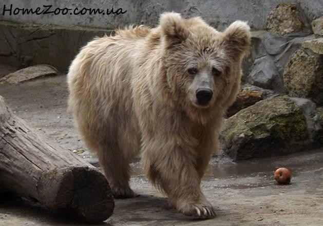 В Житомире настрадавшейся цирковой медведице предоставили дом с бассейном