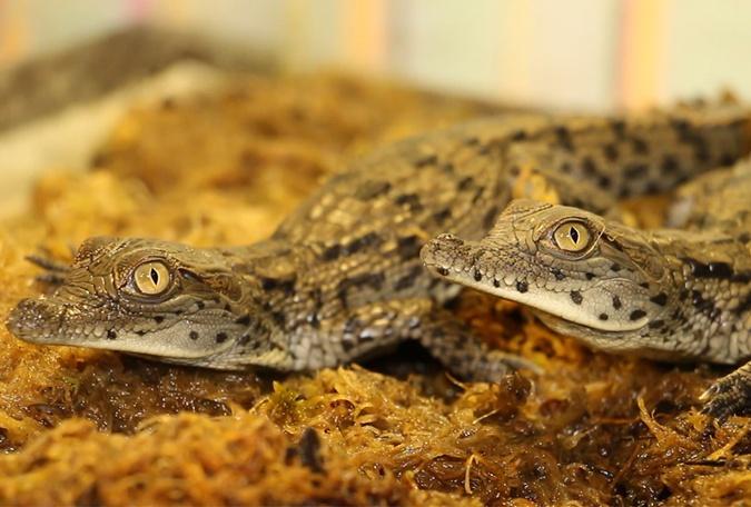 В харьковском зоопарке вылупились нильские крокодилы