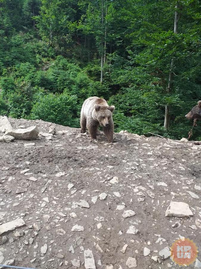 "Медведи Синевира: ""Зима близко, пора отъедаться"" [фото]"