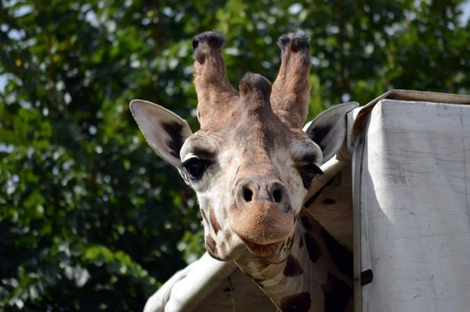 В Николаевском зоопарке поселился редкий жираф [фото]