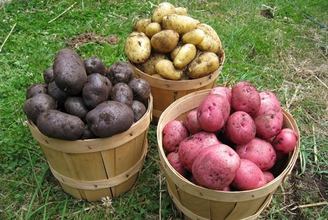Эксперты назвали пользу цветного картофеля